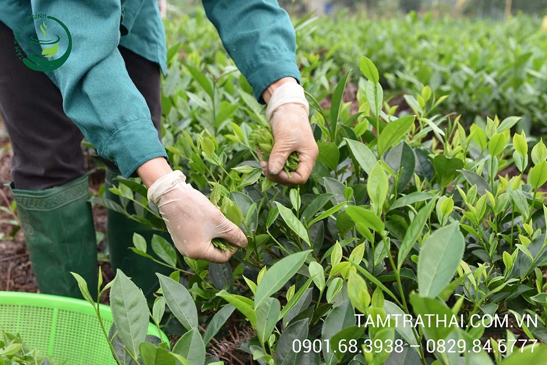 Thu hoạch trà trên đồi trà Tân Cương