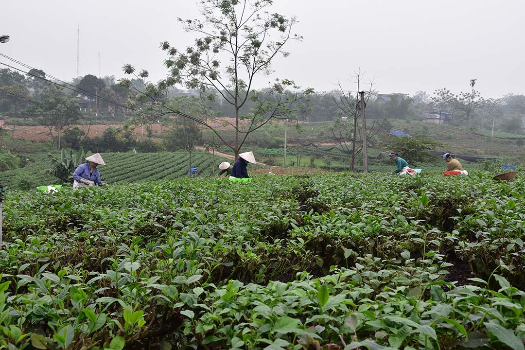 Thu hoạch búp trà
